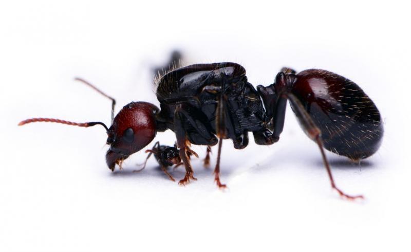 Mrówki Messor barbarus, samotna królowa