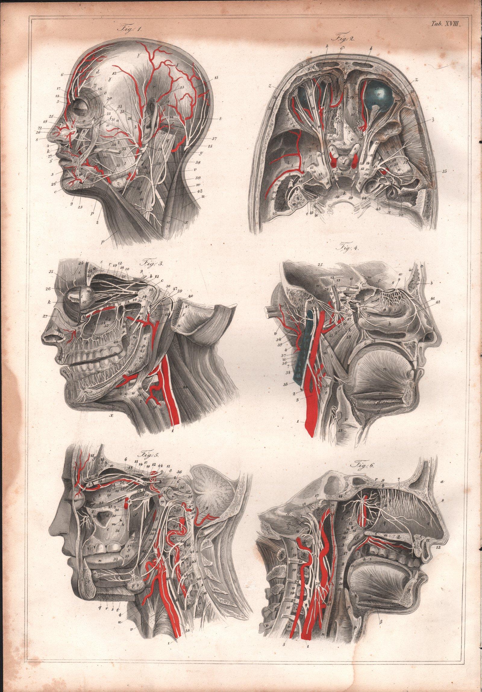 Anatomia Człowieka Głowy Nerwy Oryginał 1844r 7393631827