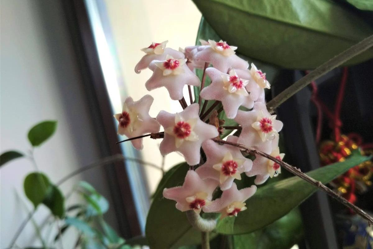 blooming hoya