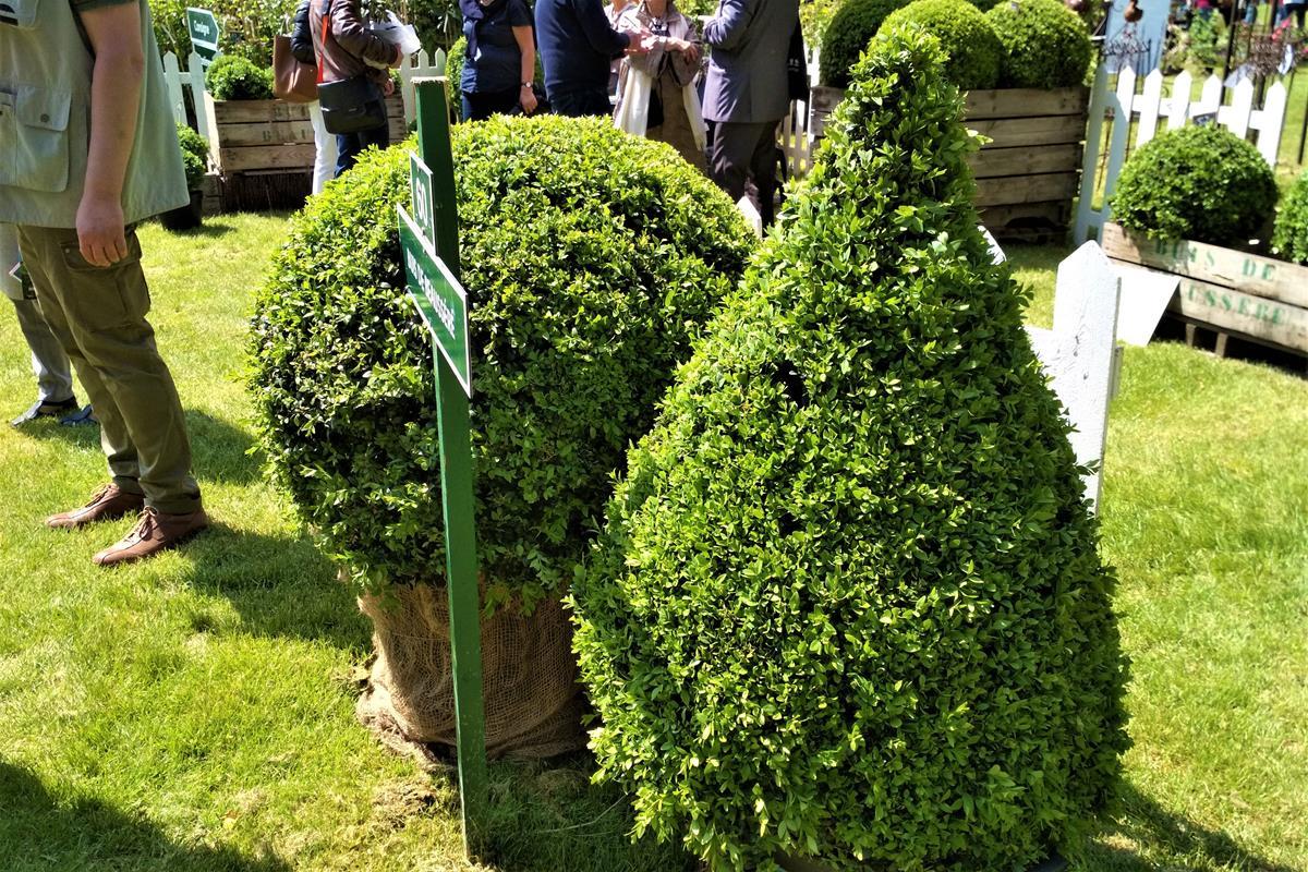 ilex topiary