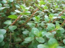 Rotala rotundifolia roślina akwariowa