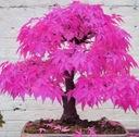 klon palmowy purpurowy bonsai nasiona