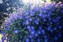 WILEC HAWENLY BLUE-najpiękniejszy 4 METROWE CUDO-