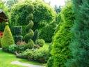 Thuja SZMARAGD zielony SPIRALA tuja 110-130cm C5 Roślina w postaci sadzonka w pojemniku 3-5l