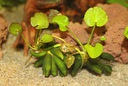 Лотос aquatica