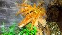Pterilochilus murinus Usambara L1/2 - 10sztuk !!!