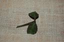 Hoya hoja waymaniae dark leaves- cięta
