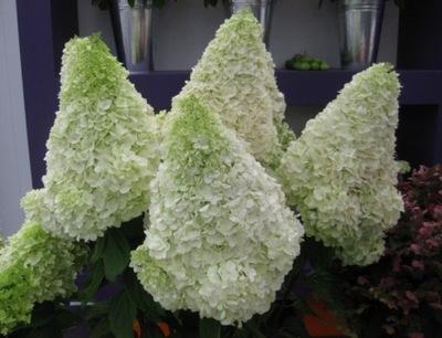 Гортензия МИШКА МЕДВЕДЬ ФЛИС Bear ГИГАНТСКИЕ цветы