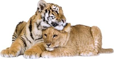 NÁLEPKY NA STENY TIGER Lion 8 100x52cm
