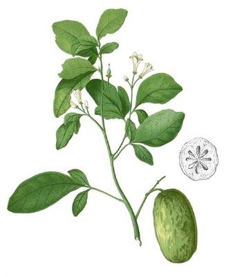 Swinglea glutinosa - интересный ЦИТРУСОВЫЕ - СЕМЕНА